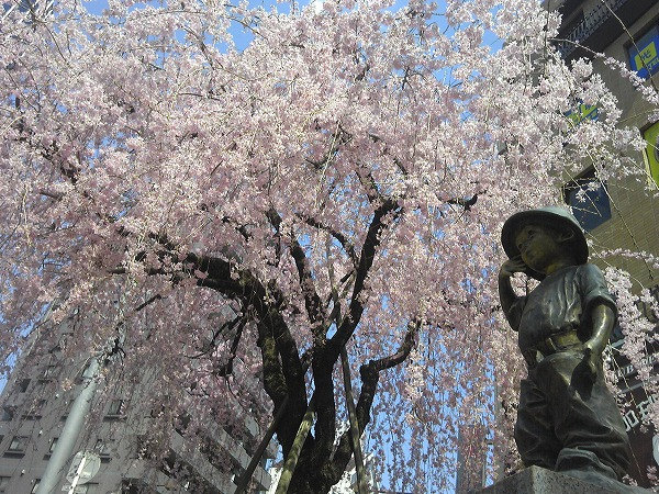 201204_cherry_blossoms.jpg
